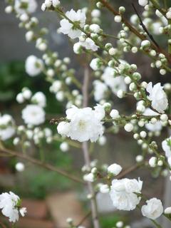 4月上旬 サクラの季節にモモ.JPG